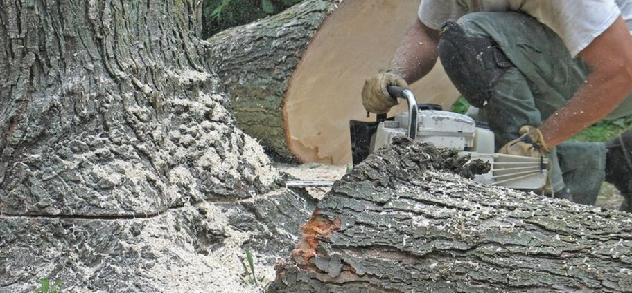 Felling of a sick tree by an employee of Emondage Saint-Constant.